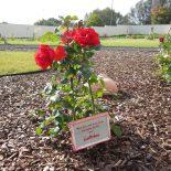 Rote Rosen auf der Asche